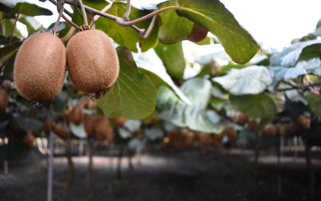 Η καλλιέργεια του ακτινιδίου είναι από τις σημαντικότερες στον τομέα των νωπών φρούτων